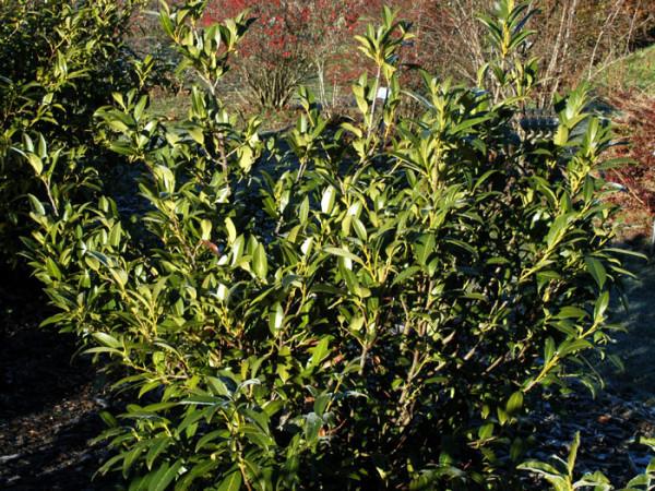 Einzelne Pflanze des immergrünen Kirschlorbeer 'Herbergii'