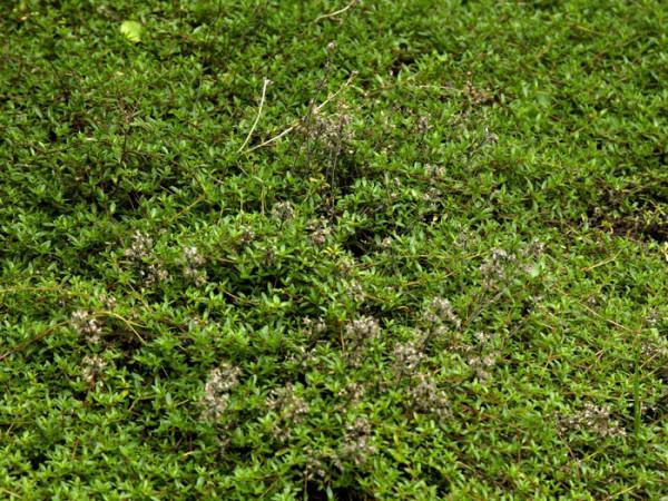 Thymus serpyllum 'Magic Carpet', Sandthymian, Teppich-Thymian