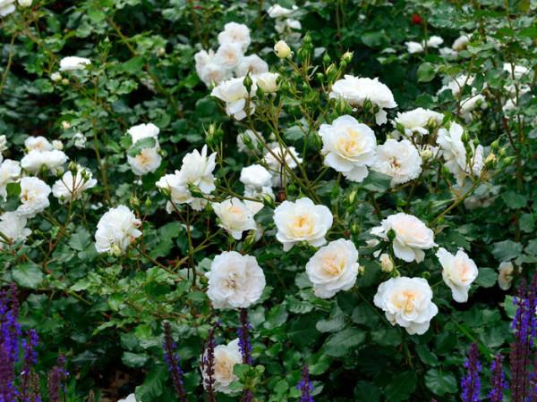 Strauch der Rose Petticoat