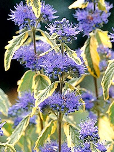 Blüte und Blatt der Bartblume