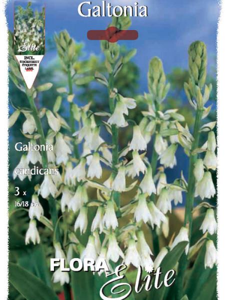 Sommerhyazinthe, Galtonia candicans (Art.Nr. 521222)