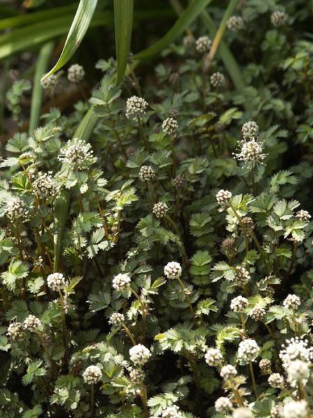 Blüte und Blatt des Stachelnüsschens
