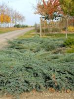 Juniperus squamata 'Blue Carpet', Blauer Kriech-Wacholder