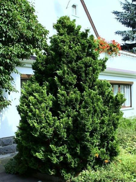 Die kleine Muschelzypresse 'Nana Gracilis' im Vorgarten