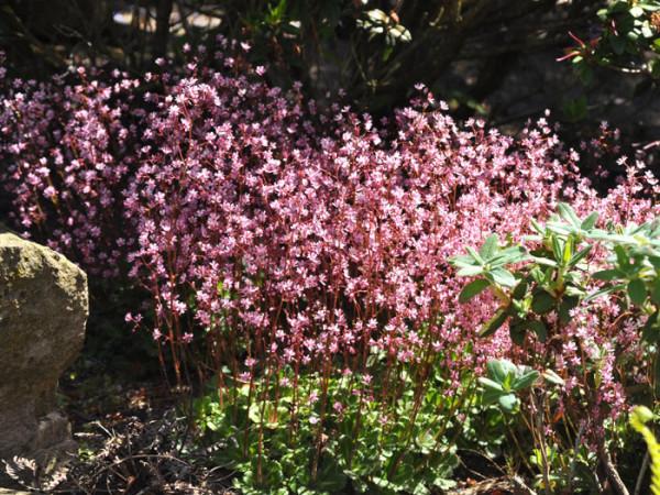 Saxifraga x urbium (Syn. umbrosa), Porzellanblümchen