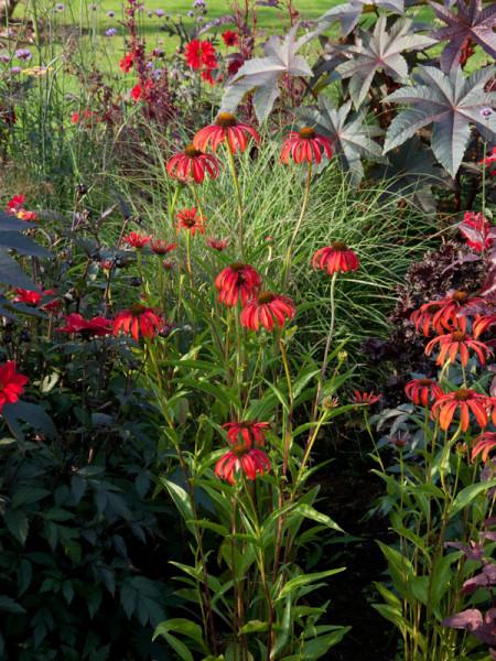 Echinacea purpurea 'Tomato Soup', Scheinsonnenhut