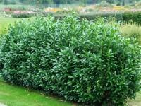 Prunus laurocerasus 'Herbergii', Immergrüner Kirschlorbeer
