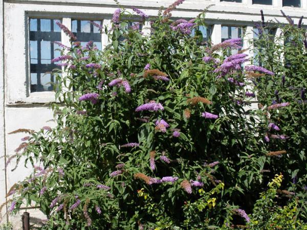 Sommerflieder 'Fascination' während der Blütezeit
