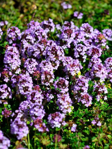 Thymus doerfleri 'Bressingham Seedling' (M), Polster-Thymian