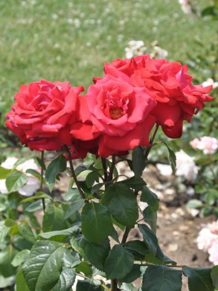 Blüte der Rose Grand Amore