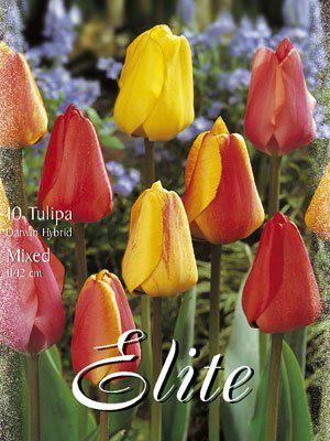 Darwin-Hybrid-Tulpen-Prachtmischung (Art.Nr. 595320)