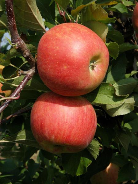 Jonagold, Apfel - U-Spalier