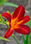 hemerocallis-red-precious56d9922a72881