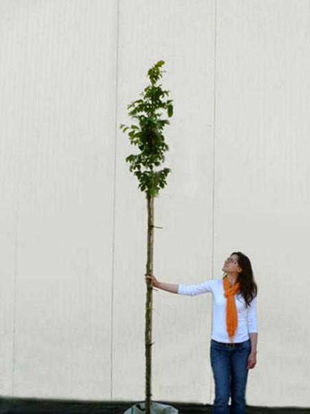 Parrotia persica, Persischer Eisenholzbaum - XXL-Produkt