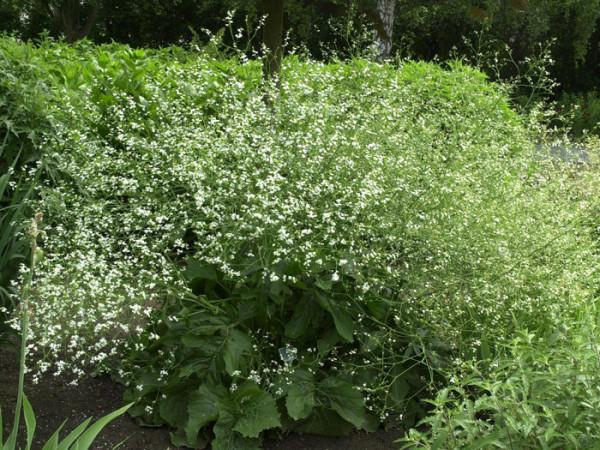 Crambe cordifolia, Meerkohl, Riesen-Schleierkraut