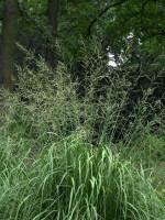 Molinia arundinacea 'Windspiel', Riesen-Pfeifengras, Hohes Pfeifengras