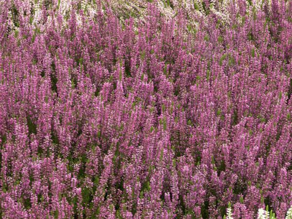 Üppiger Blütenflor der Knospenheide 'Amethyst'