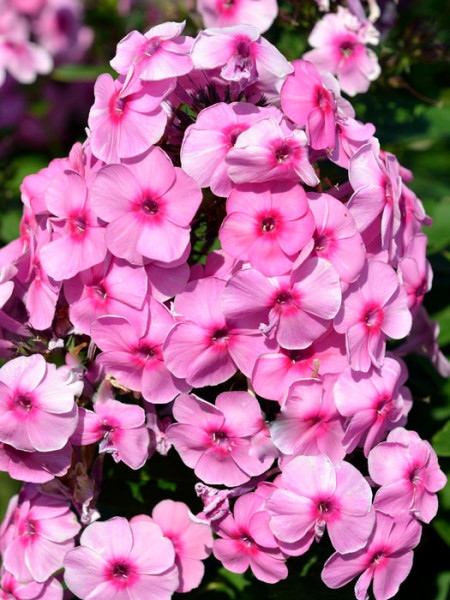 Phlox paniculata 'Fondant Fancy', Flammenblume, Sommerphlox