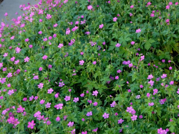 Geranium endressii (M), Pyrenäen-Storchschnabel