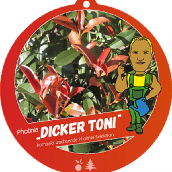 Photinia fraseri 'Dicker Toni', kompakte Glanzmispel