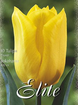 Triumph-Tulpe 'Yokohama' (Art.Nr. 595264)