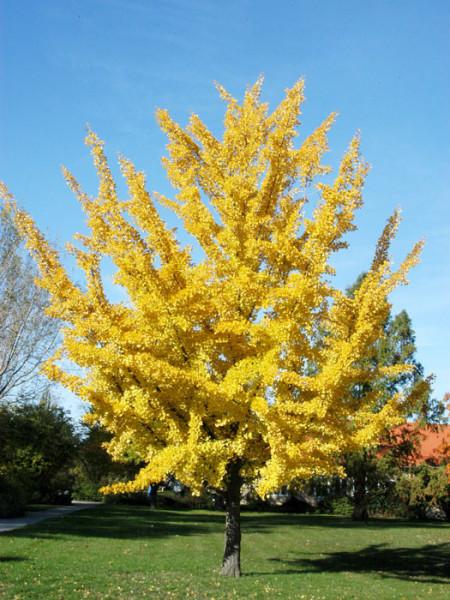 Der Ginkgo mit goldgelber Herbstfärbung