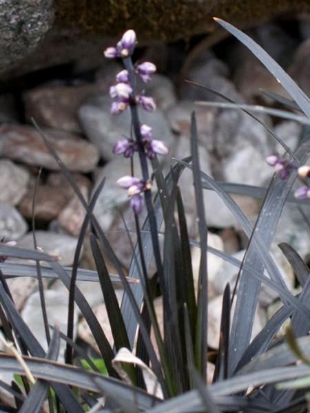 Ophiopogon planiscapus 'Niger', Schwarzer Schlangenbart