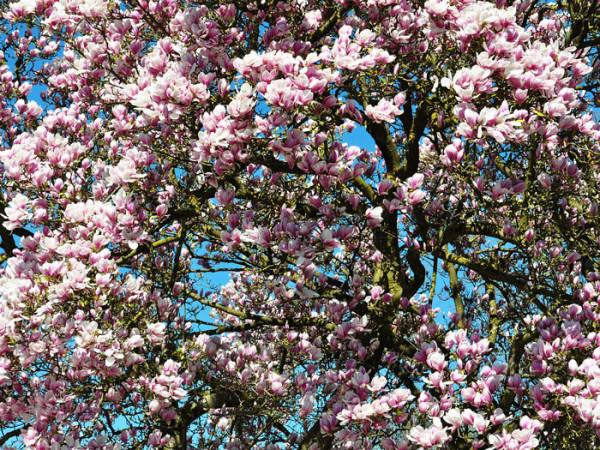 Tulpen-Magnolie Strauch