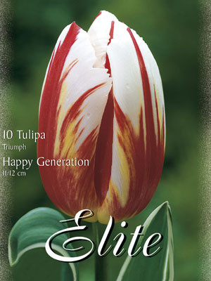 Triumph-Tulpe 'Happy Generation' (Art.Nr. 595212)