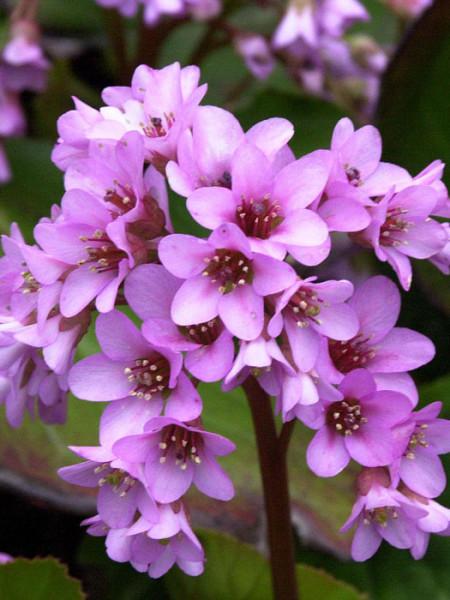 Charmante Blütenfülle der Bergnie