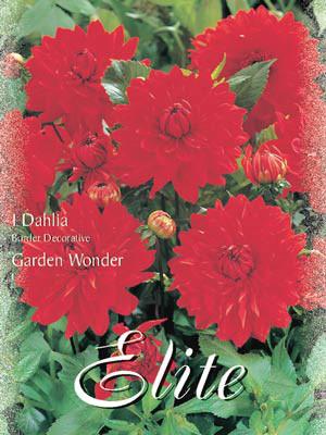 Beet-Dahlie 'Garden Wonder', Dahlia (Art.Nr. 520386)