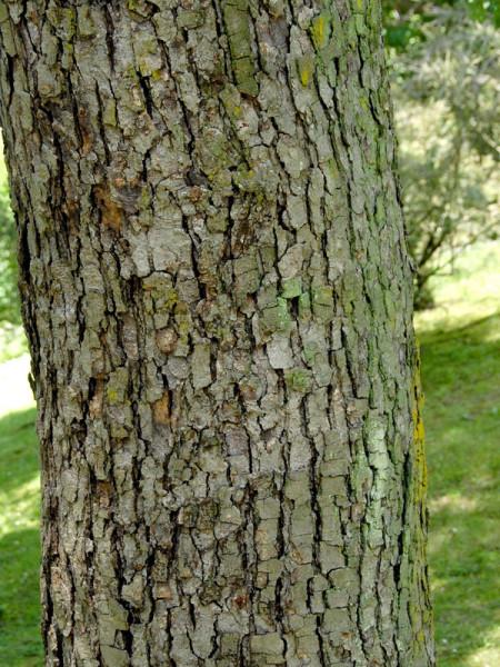 Davidia involucrata vilmoriniana, Taschentuchbaum
