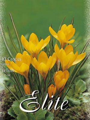 Großblumiger Gartenkrokus 'Große Gelbe' (Art.Nr. 596266)