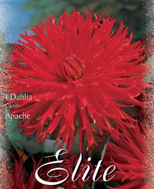Kaktus-Dahlie 'Apache', Dahlia (Art.Nr. 520004)