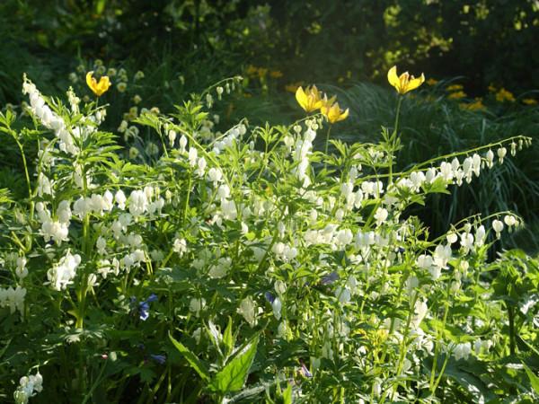 Dicentra spectabilis 'Alba' (M), weißblumiges Tränendes Herz