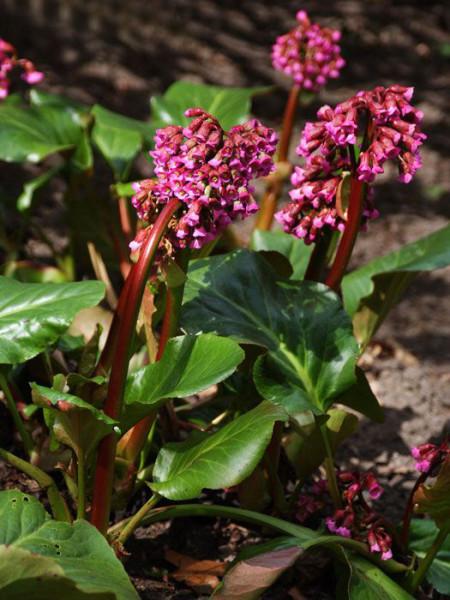 Leicht hängende Blüten der Bergenie 'Admiral'