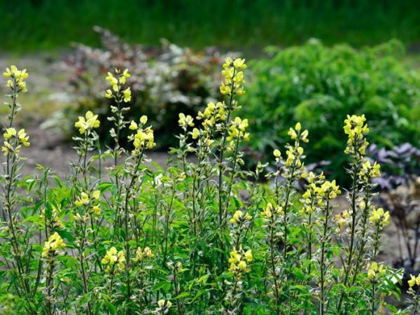 Thermopsis chinensis, Goldlupine, Fuchsbohne, chinesische Scheinlupine