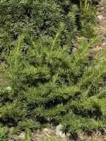 Taxus baccata 'Repandens', Tafel-Eibe
