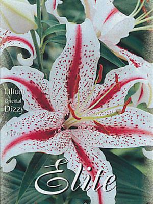 Orientalische Lilien-Hybride 'Dizzy', Lilium (Art.Nr. 521716)