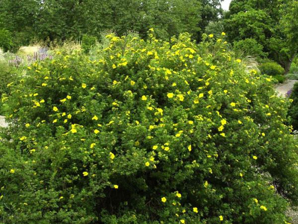 Potentilla Goldfinger Gruppenpflanzung