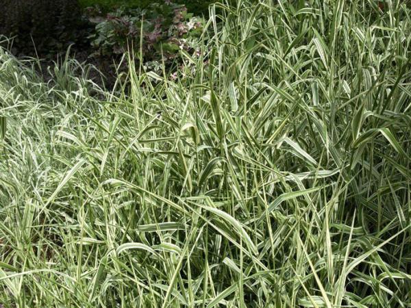 Phalaris arundinacea, Rohrglanzgras