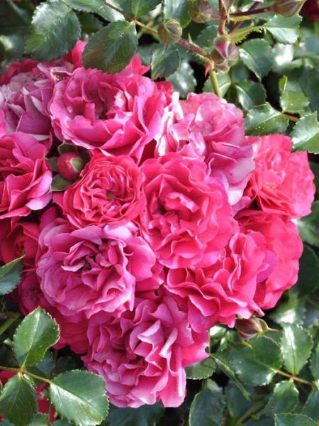 Blüte der Rose Gärtnerfreude