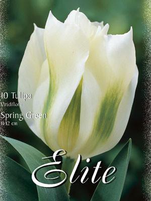 Viridiflora Tulpe 'Spring Green' (Art.Nr. 595622)