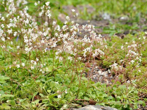 Saxifraga cotyledon 'Pyramidalis', Becher-Steinbrech, Herbst-Steinbrech