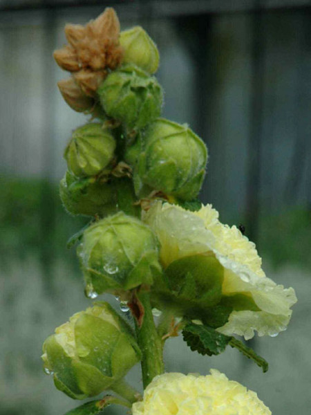 Alcea rosea 'Pleniflora' gelb (M), Stockrose, Gefüllte Stockmalve