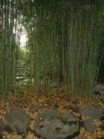 Phyllostachys aurea, Gelber Bambus