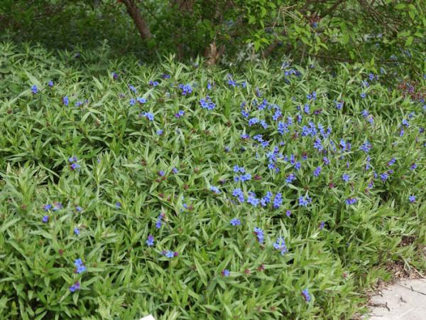 Kontrastreiches Bild der blauen Blüte mit dem sattgrünen Laub