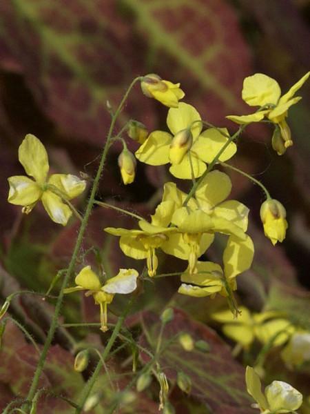 Die Blüte der Elfenblume 'Frohnleiten'
