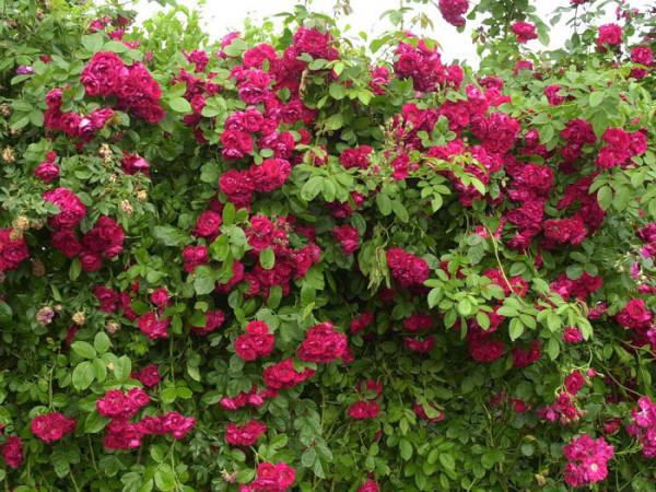 Strauch der Rose Flammentanz