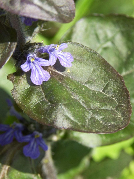 Rötliches Laub des Gartengünsels 'Atropurpurea'